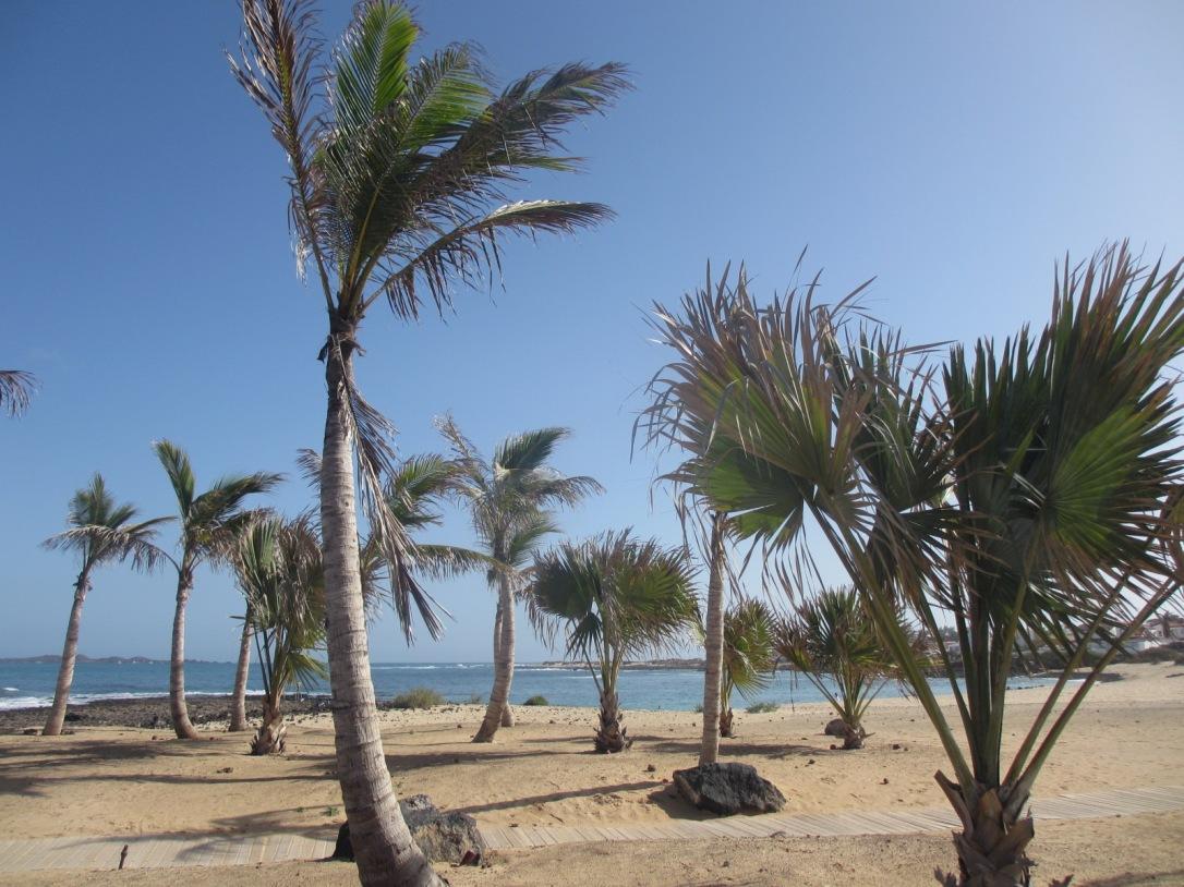 Fuerteventura palm trees